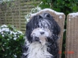 Tibetan Terrier, 2, black-white