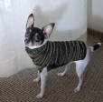 Toy Fox Terrier, 1.5 years, Tri color