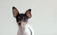 Toy Fox Terrier, 10 months, Tri color