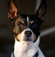 Toy Fox Terrier, 4 years, Tri color