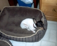 Toy Fox Terrier, 8 mos., tri