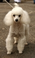 Toy Poodle, 1 year, White