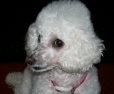 Toy Poodle, 5, white
