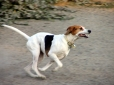 Treeing Walker Coonhound, 9 months, Tri Color