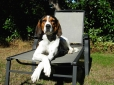 Treeing Walker Coonhound, 4 years, Tri Color