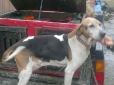 Treeing Walker Coonhound, 9 years old, tri color