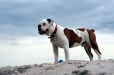 Victorian Bulldog, 1.5 years, Brown and White