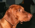 Vizsla, 1 year, Brown