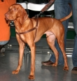 Vizsla, 1.5 years, Brown