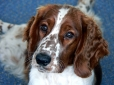 Welsh Springer Spaniel, 1 year, Brown and White