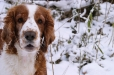 Welsh Springer Spaniel, 11 months, Brown and White