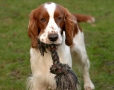 Welsh Springer Spaniel, 8 months, Brown and White