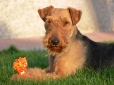 Welsh Terrier, 1.5 years, Brown