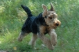 Welsh Terrier, 10 years, Brown