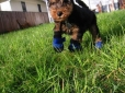Welsh Terrier, 2 months, Brown