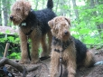 Welsh Terrier, 2 years, Brown