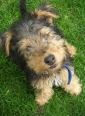 Welsh Terrier, 3 months, Brown