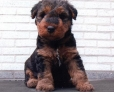 Welsh Terrier, 5 weeks, Brown
