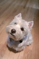 West Highland White Terrier, 1 year, White