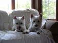 West Highland White Terrier, 1.5 years, White