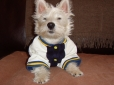 West Highland White Terrier, 10 months, white