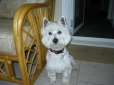 West Highland White Terrier, 1yr, White