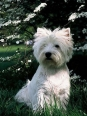 West Highland White Terrier, 4 months, White