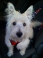 West Highland White Terrier, 6 months, White