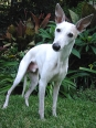 Whippet, 6 months, white