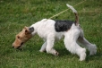 Wirehaired Fox Terrier, 1 year, Tri Color