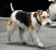 Wirehaired Fox Terrier, 1.5 years, Tri Color