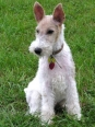 Wirehaired Fox Terrier, 11 months, White