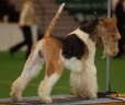 Wirehaired Fox Terrier, 3 years, Brown and White