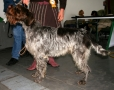 Wirehaired Pointing Griffon, 4 years, Brown