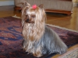 Yorkshire Terrier, 1 year, Brown