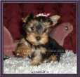 Yorkshire Terrier, 10 months, brown & black