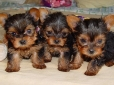 Yorkshire Terrier, 3 weeks, Brown