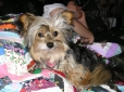 Yorkshire Terrier, 6, black,bloond,brown