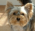 Yorkshire Terrier, 8 months, Brown