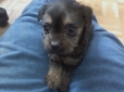 Yorkshire Terrier, 8-9 weeks, Black and Tan
