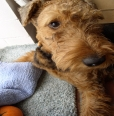 Airedale Terrier, 1, brown