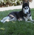 Alaskan Husky, 2 years, pepper
