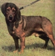 Alpine Dachsbracke, 4 years, brown