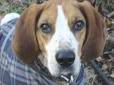 American Foxhound, 5 months, brown and white