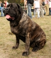 American Mastiff, 2 years, Harliquin