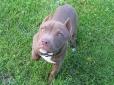 American Pit Bull Terrier, 6 weeks, blue