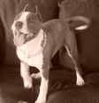 American Staffordshire Terrier, 6 months, blue and white