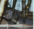 American Water Spaniel, 4 moths, black