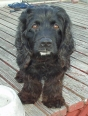 American Water Spaniel, 1 year, Black