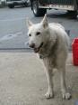 American White Shepherd, 1 year, white